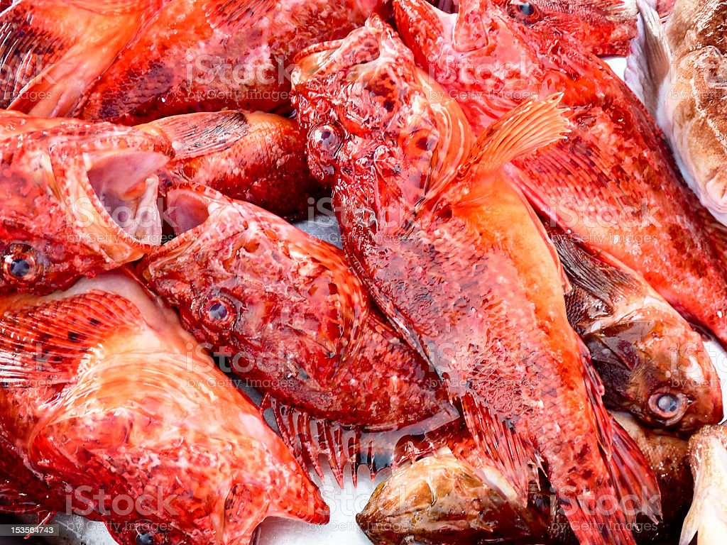 caught red scorpionfishes on a table stock photo