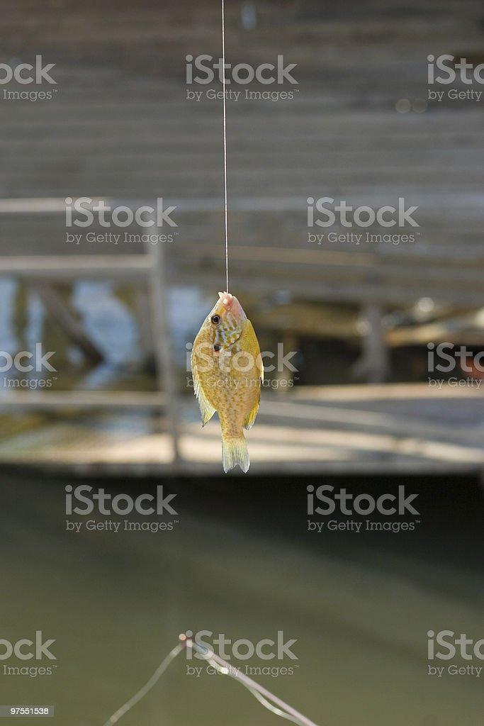 Caught Sunfish hanging on hook royalty-free stock photo