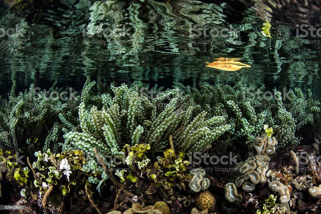 Caulerpa Algae or Sea Grapes stock photo