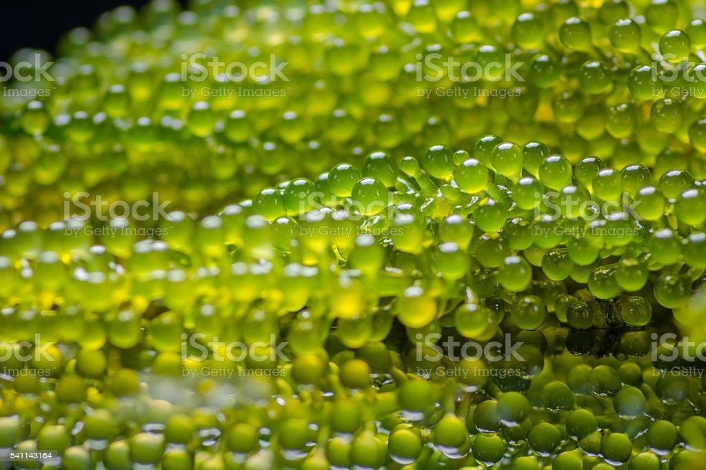 Caulerpa lentillifera - sea grapes or green caviar. royalty-free stock photo