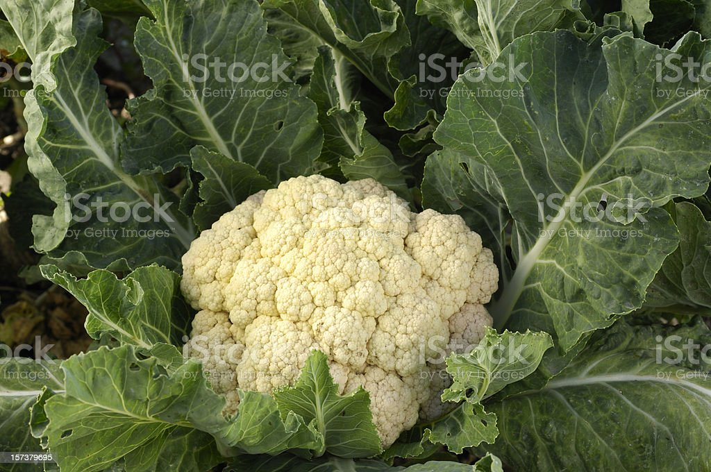 Cauliflower Cluster Growing in Field stock photo