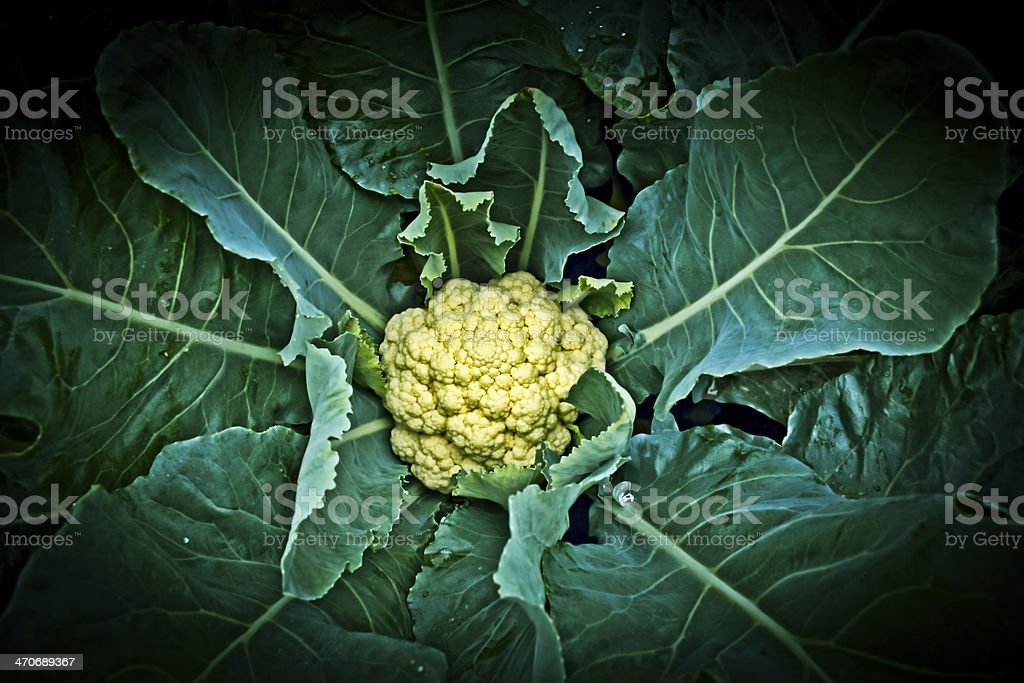 Cauliflower field, India stock photo