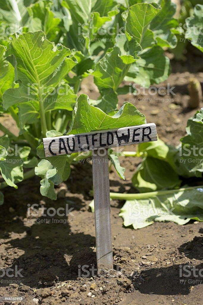 Cauliflower in a garden royalty-free stock photo