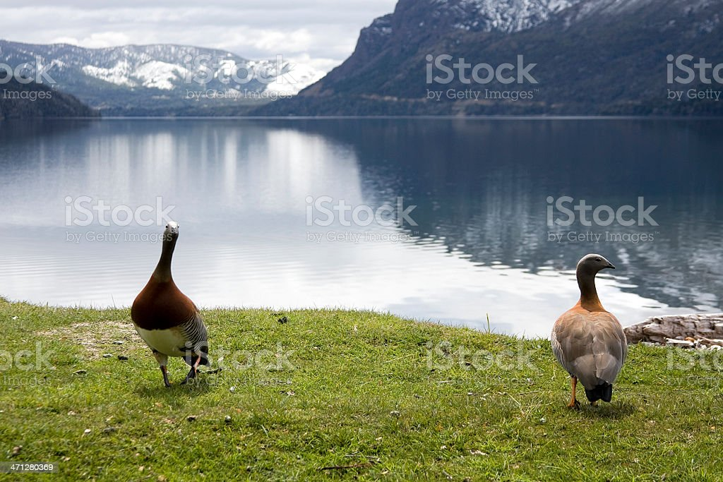 'Cauquenes' in Lake royalty-free stock photo