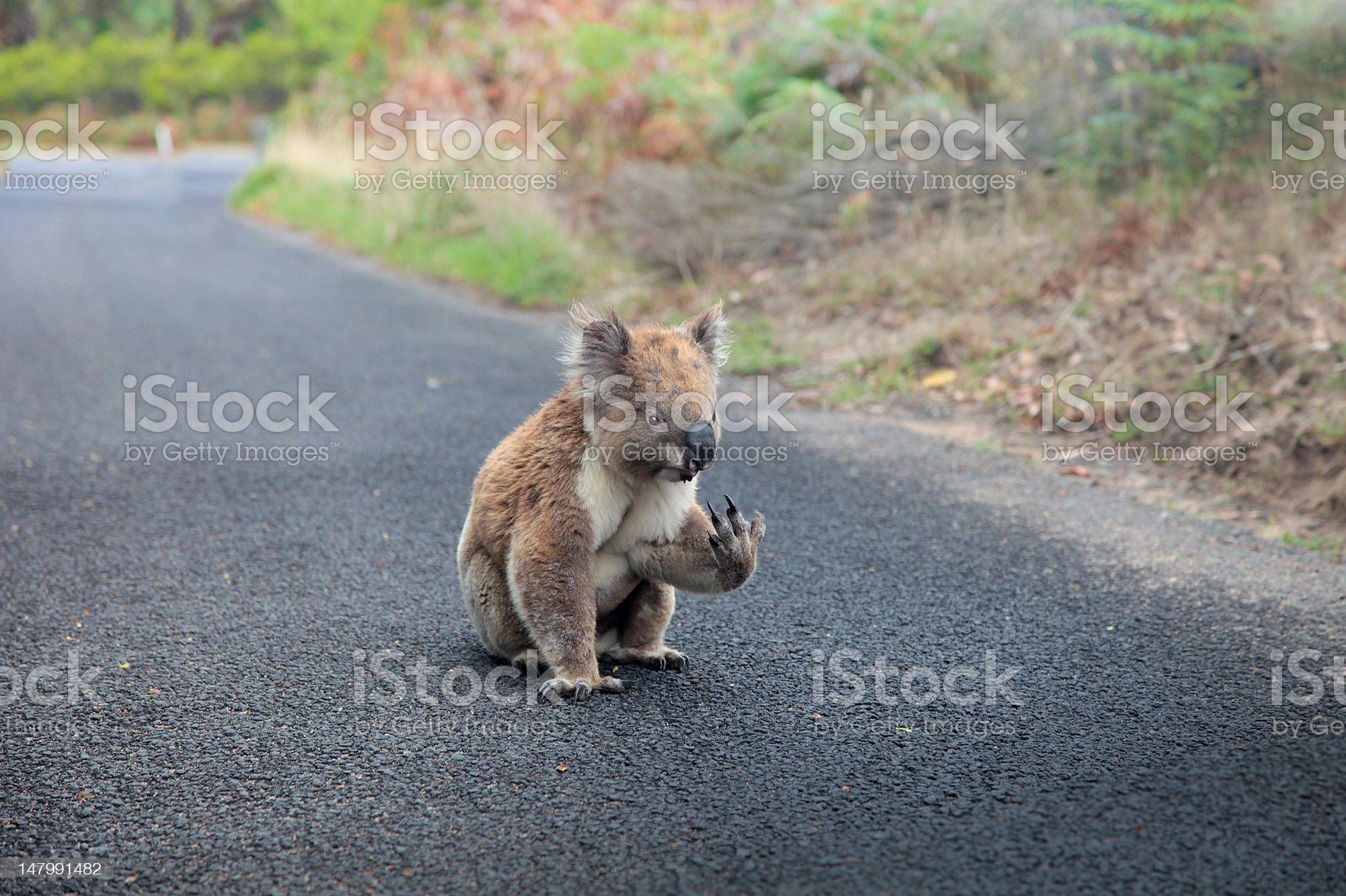 Caution: Koala on the road! royalty-free stock photo