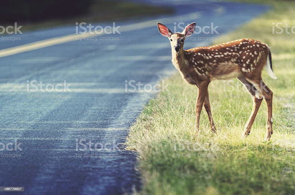 Cautious Fawn stock photo