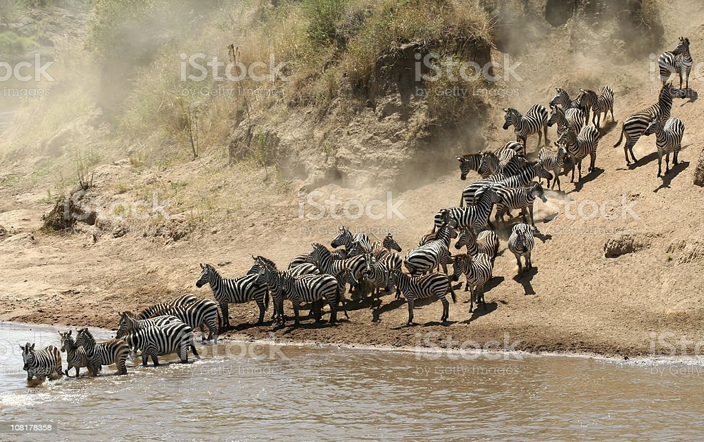Cautious migration royalty-free stock photo