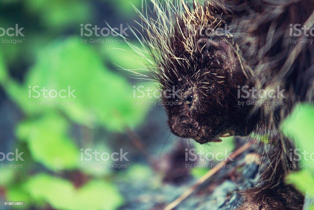 Cautious Porcupine stock photo