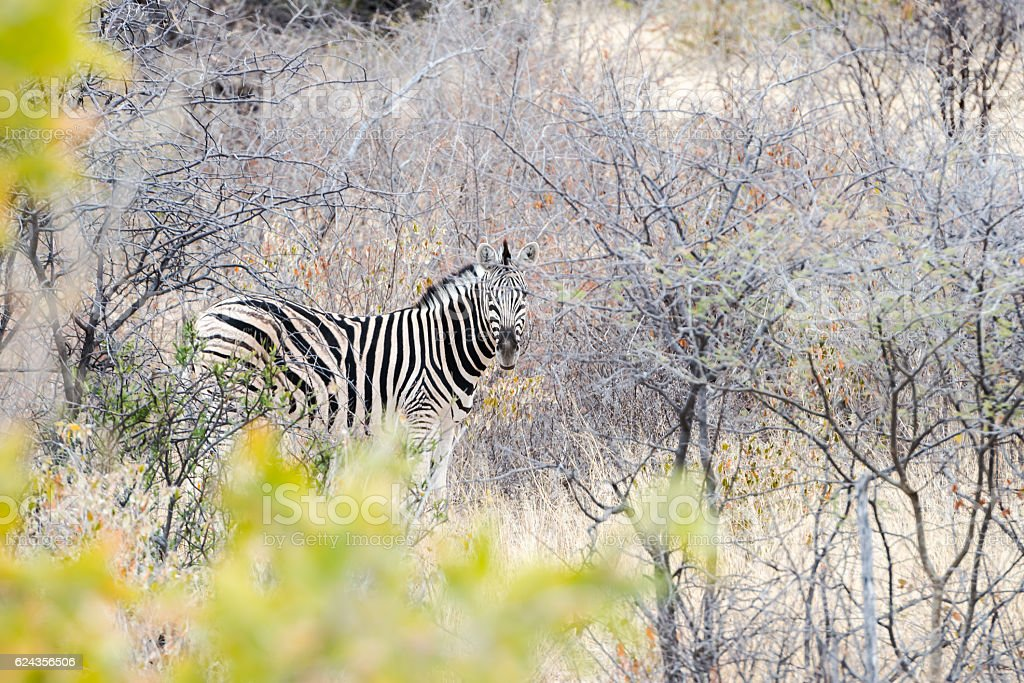 Cautious zebra is hiding into savannah and looking into camera stock photo