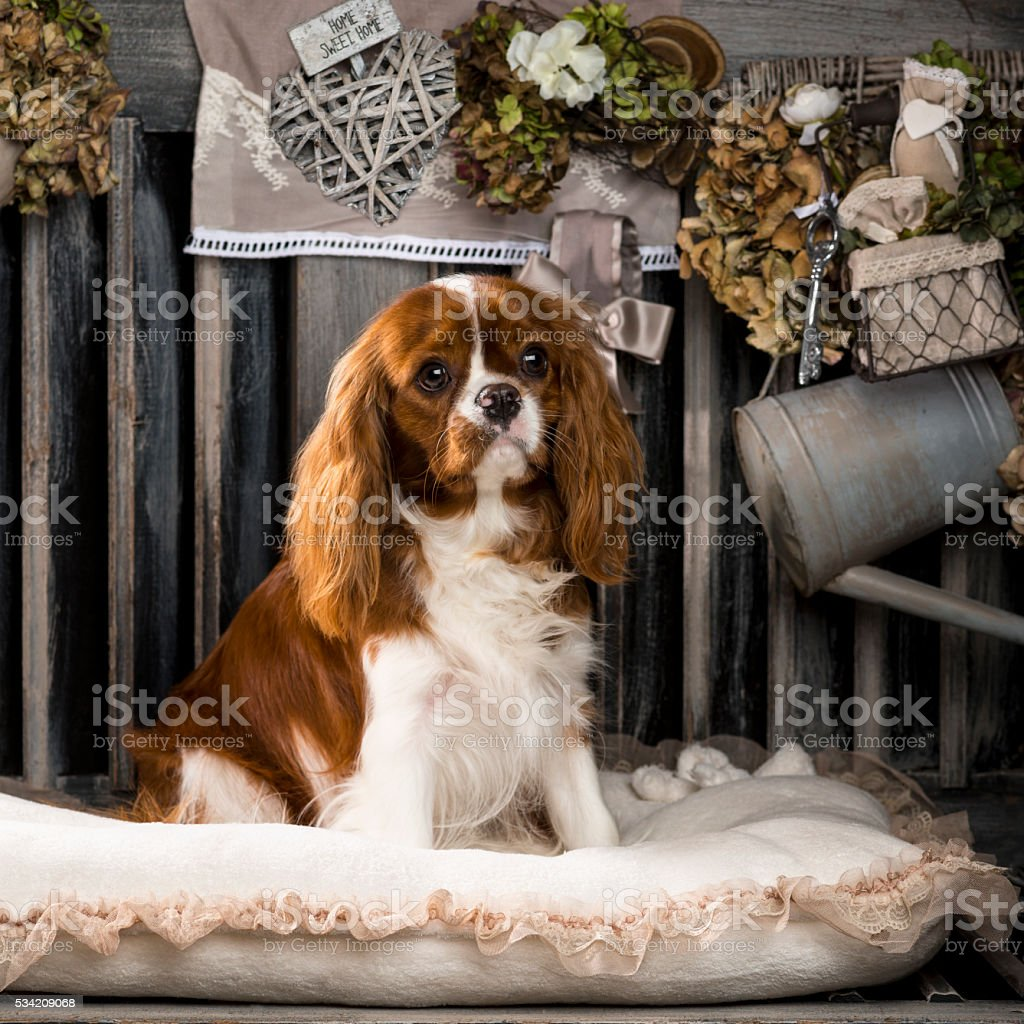 Cavalier King Charles in front of a rustic background stock photo
