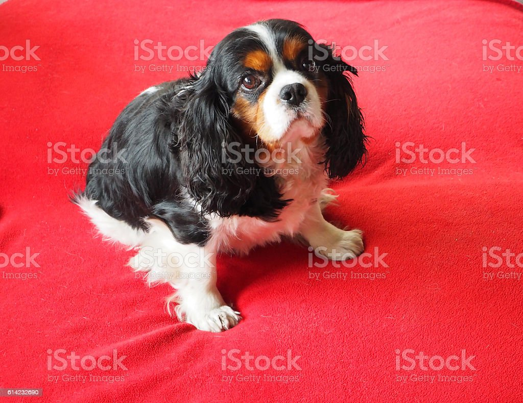Cavalier King Charles sur couverture rouge stock photo