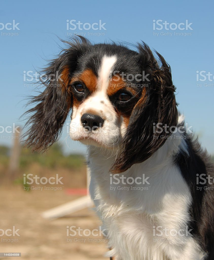 cavalier king charles royalty-free stock photo