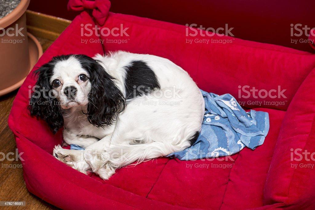 Cavalier King Charles stock photo