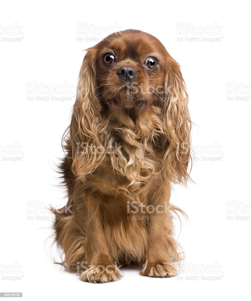 Cavalier King Charles (6 years) stock photo