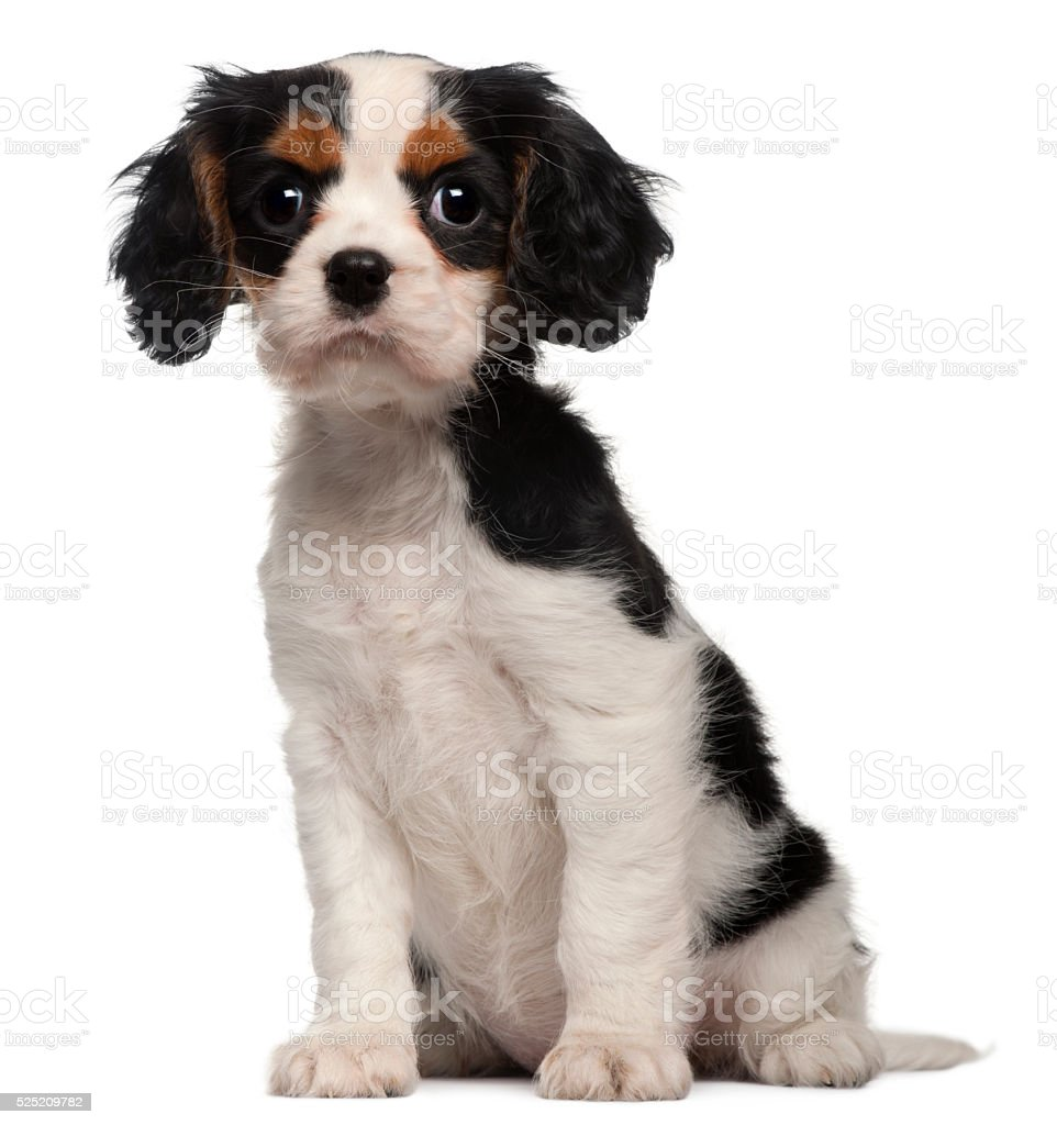 Cavalier King Charles Puppy, 2 months old, sitting stock photo