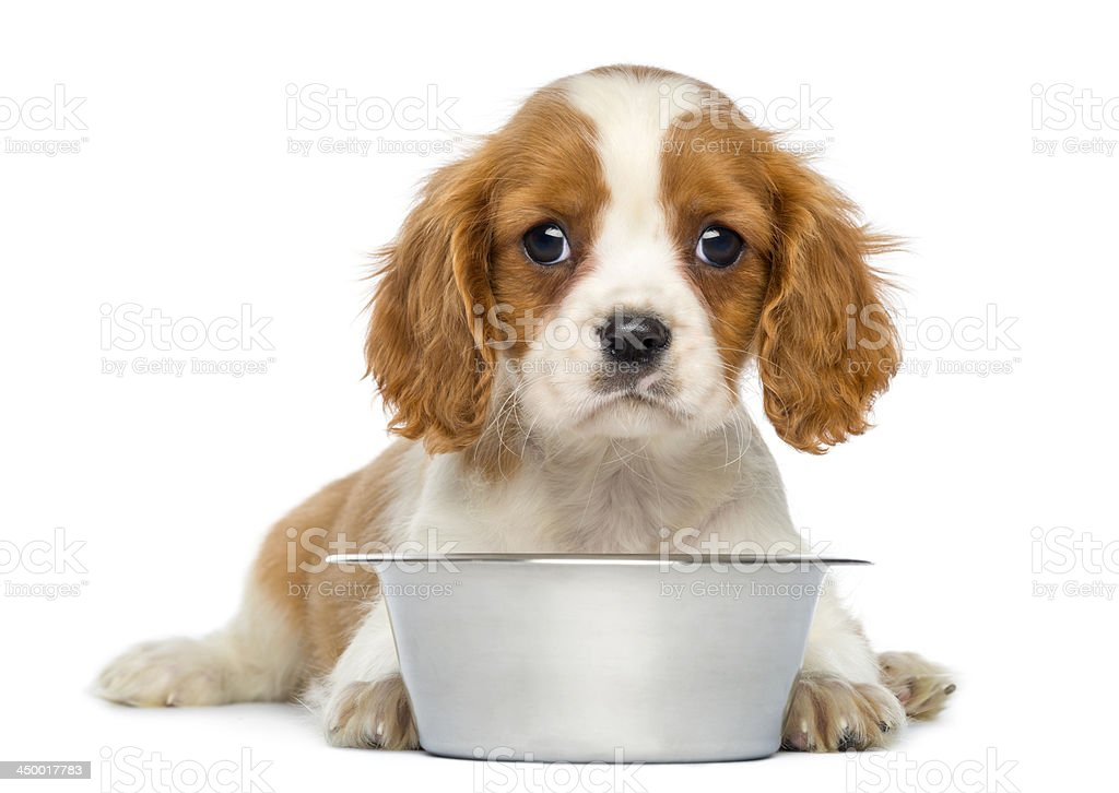 Cavalier King Charles Puppy in front of an empty bowl stock photo