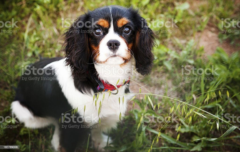 Cavalier King Charles puppy stock photo