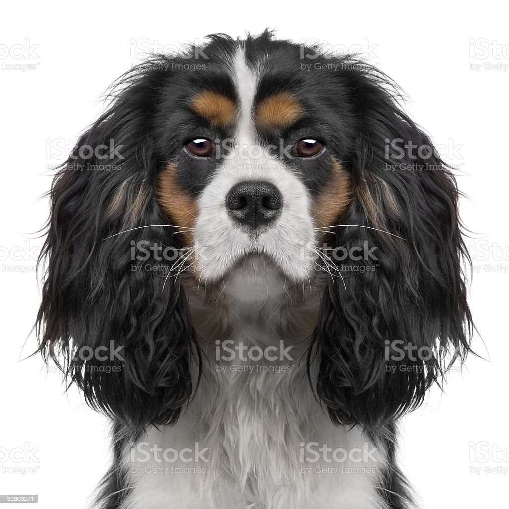 Cavalier King Charles puppy (10 months) (Digital enhancement) stock photo