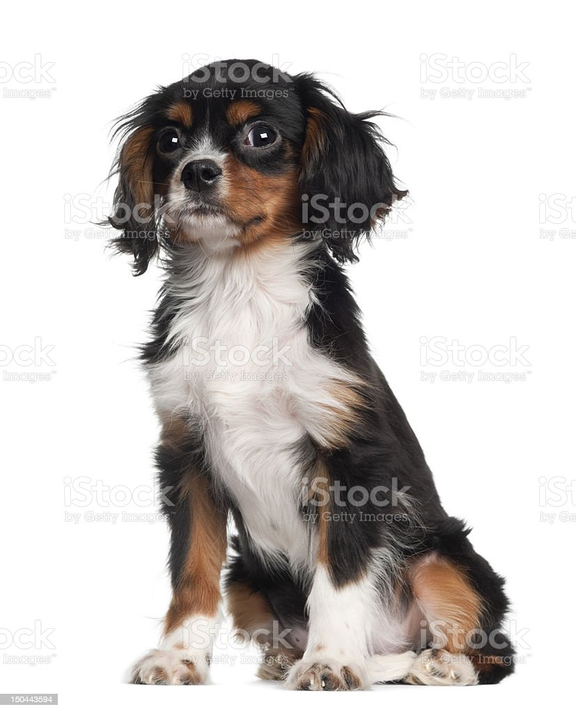 Cavalier king Charles puppy sitting against white background stock photo