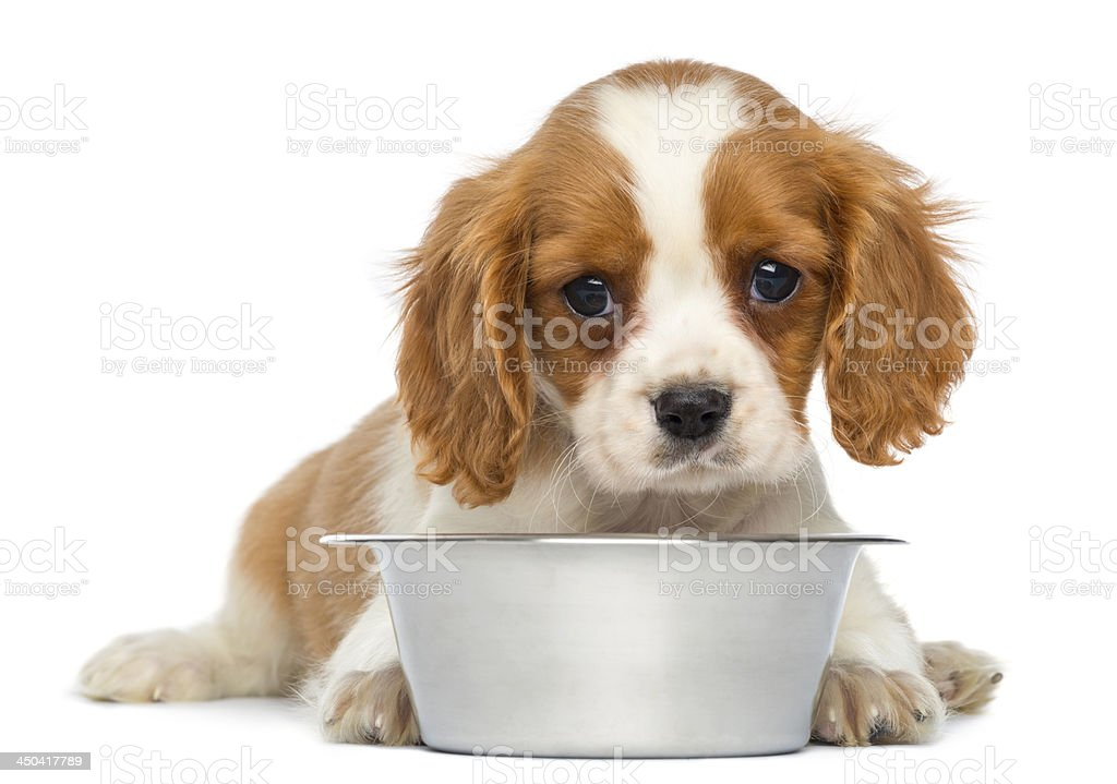 Cavalier King Charles puppy with empty silver bowl stock photo