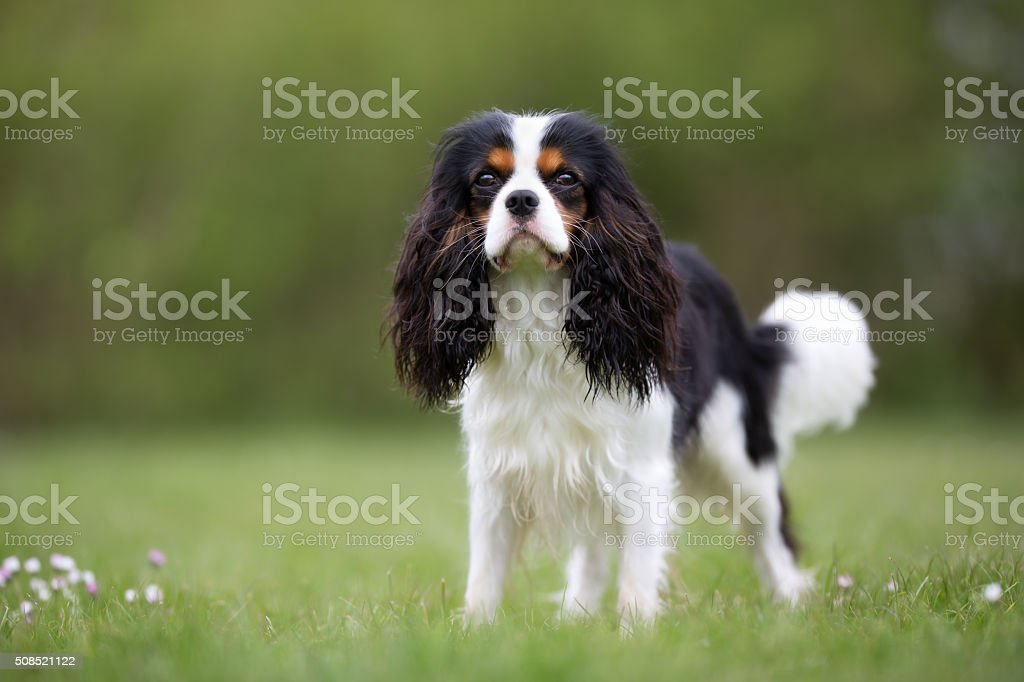 Cavalier King Charles Spaniel dog outdoors in nature stock photo