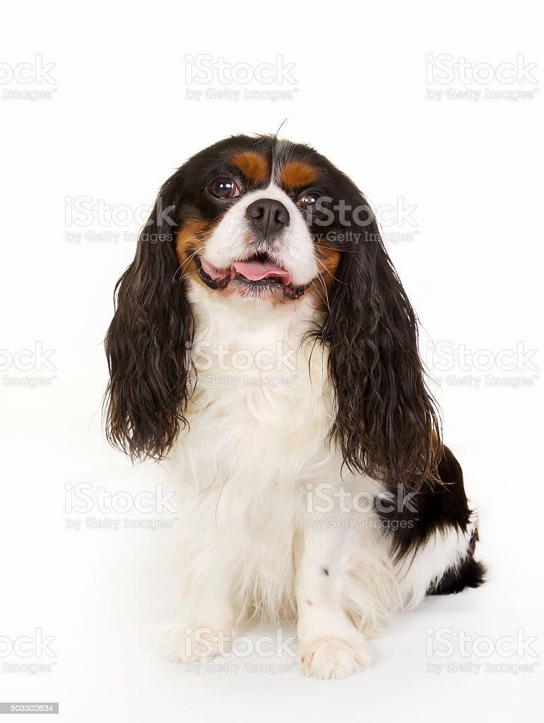 Cavalier King Charles Spaniel dog stock photo