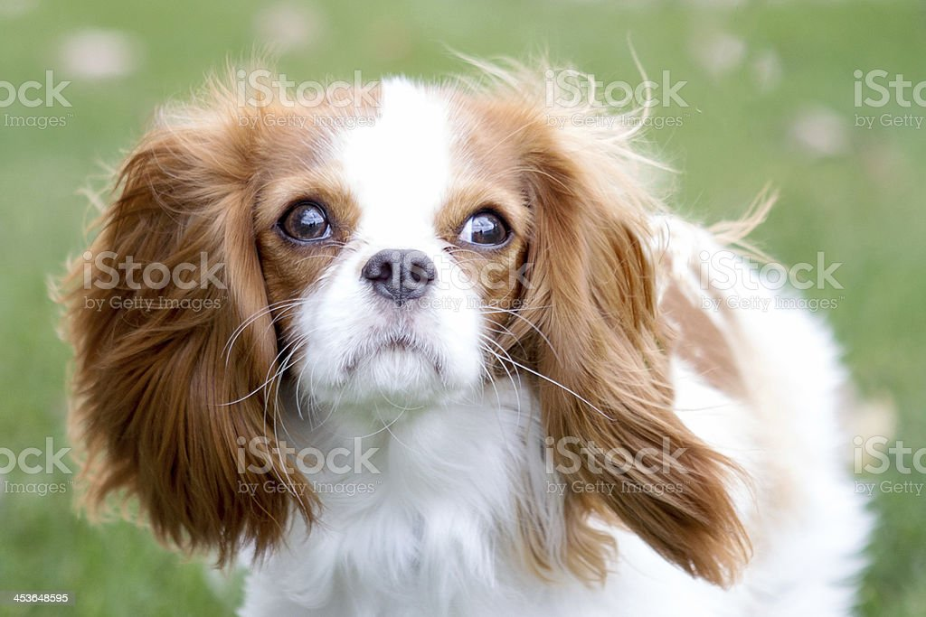 Cavalier King Charles Spaniel fur blowing in the wind stock photo