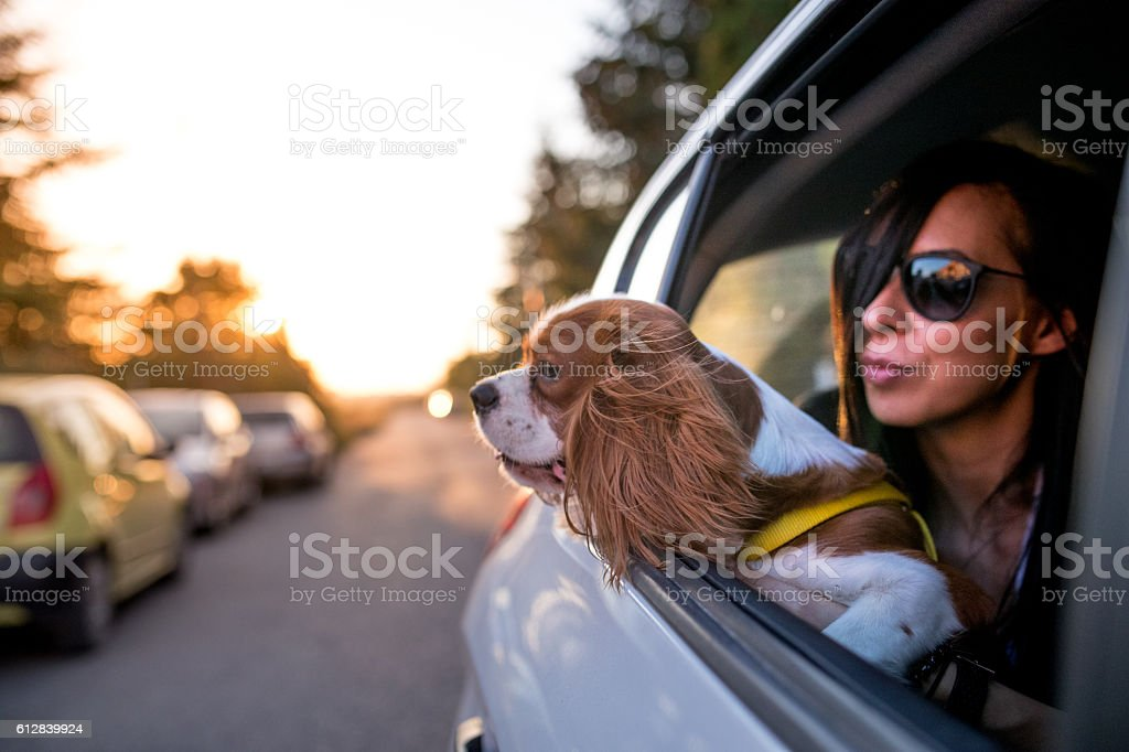Cavalier King Charles Spaniel in the car stock photo