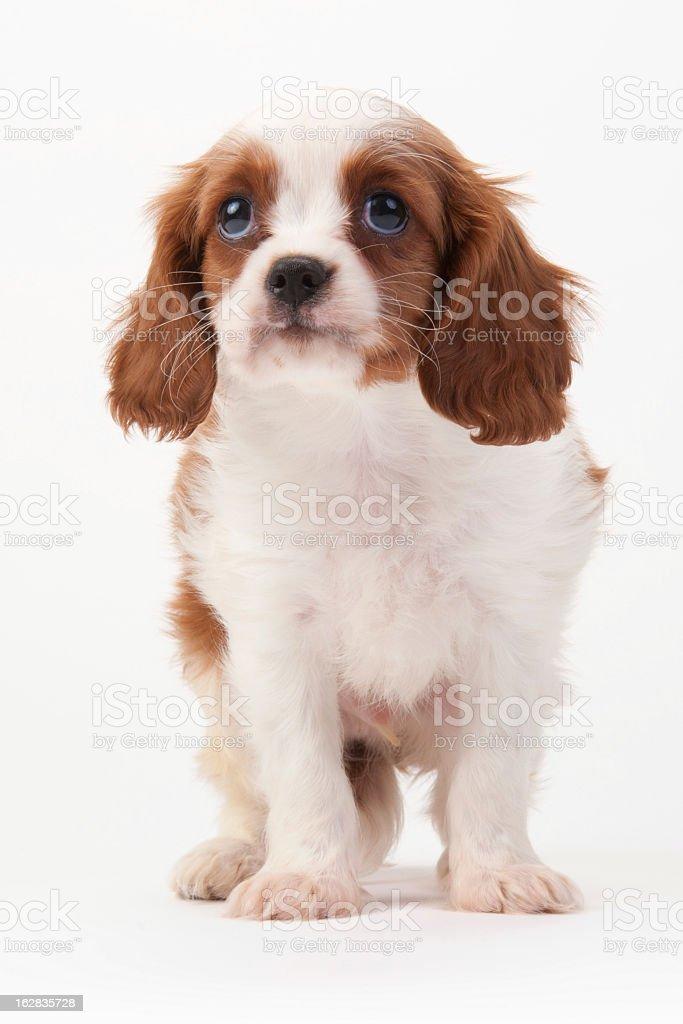 Cavalier King Charles Spaniel royalty-free stock photo