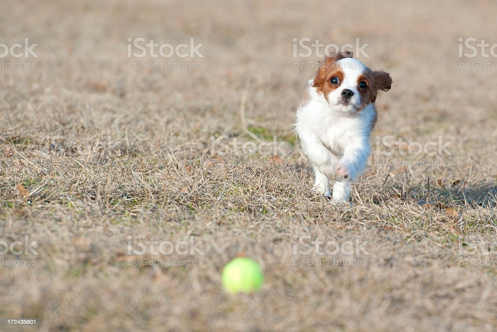 Cavalier King Charles Spaniel royalty-free stock photo