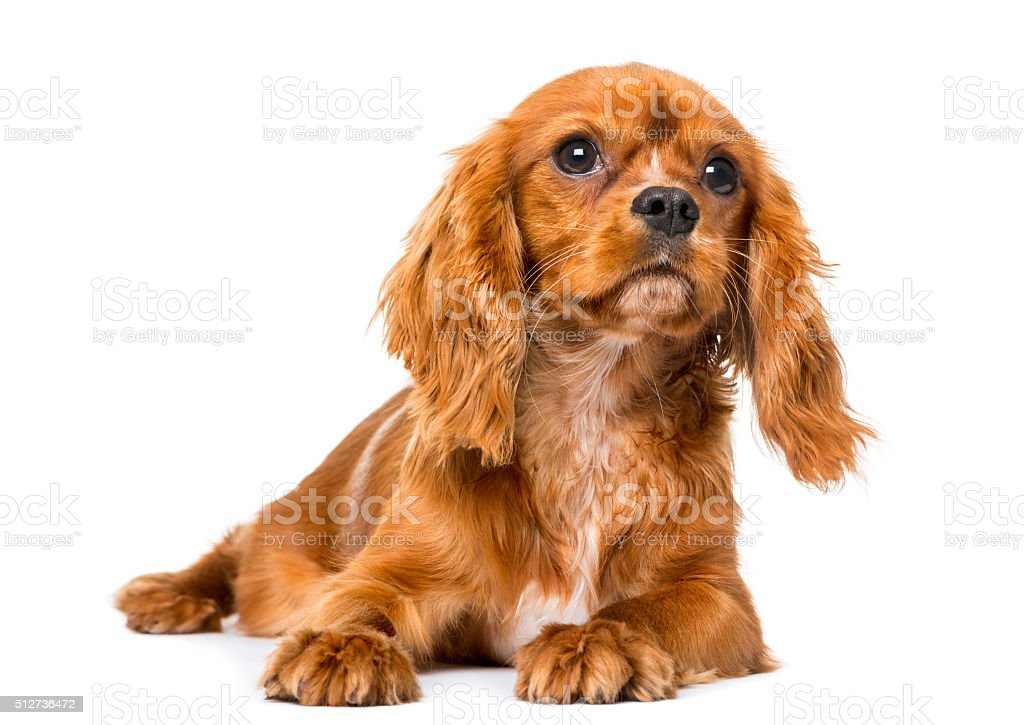 Cavalier King Charles Spaniel (8 months old) stock photo