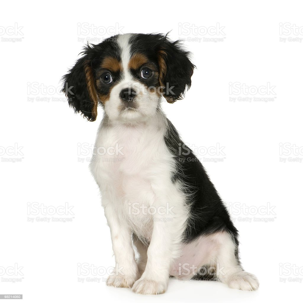 Cavalier King Charles Spaniel (3,5 months) royalty-free stock photo