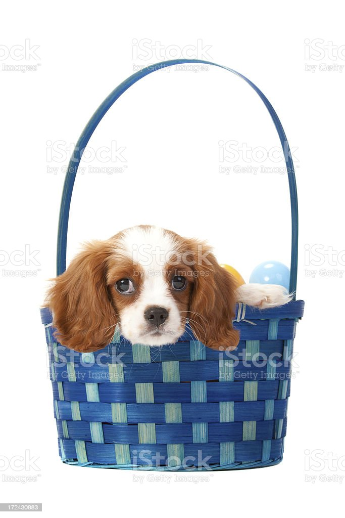 Cavalier King Charles Spaniel puppy royalty-free stock photo