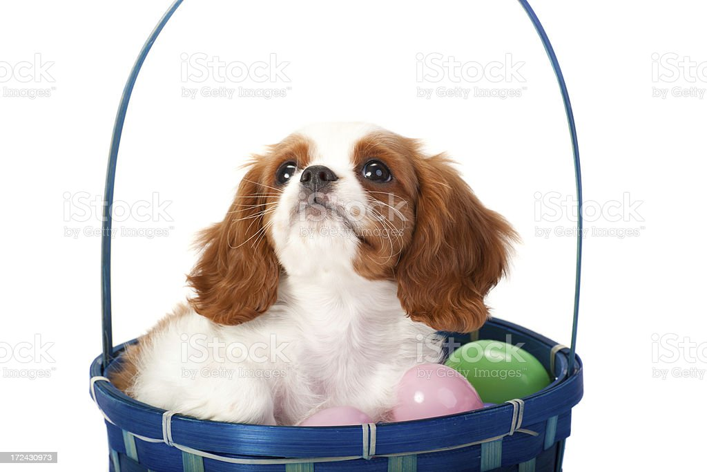 Cavalier King Charles Spaniel puppy stock photo