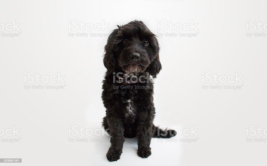 Cavapoo cross Puppie stock photo