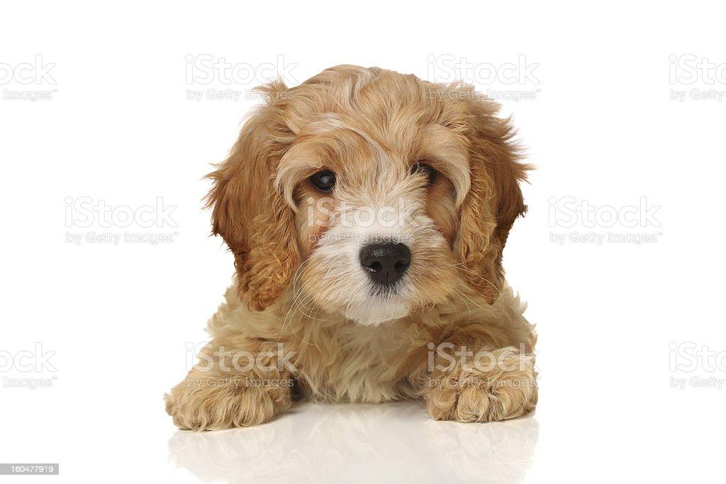 cavapoo puppy stock photo