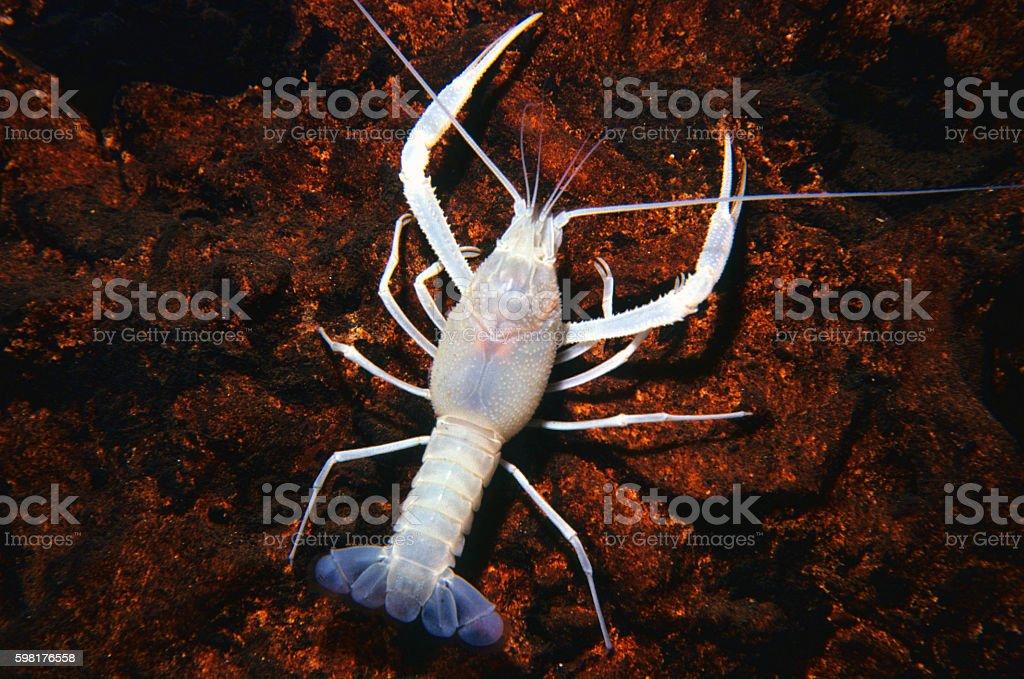 Cave Crayfish 29 stock photo