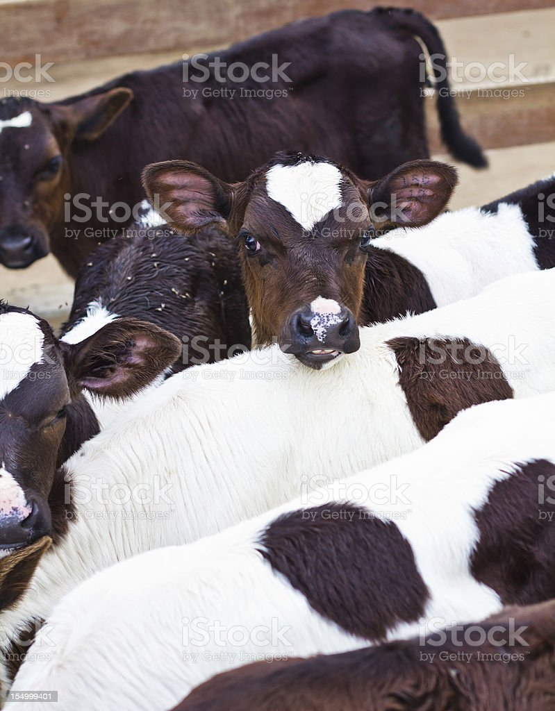 caws in stable royalty-free stock photo