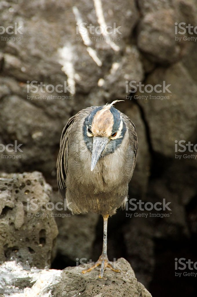 Cayenne Heron, Galapagos Islands stock photo