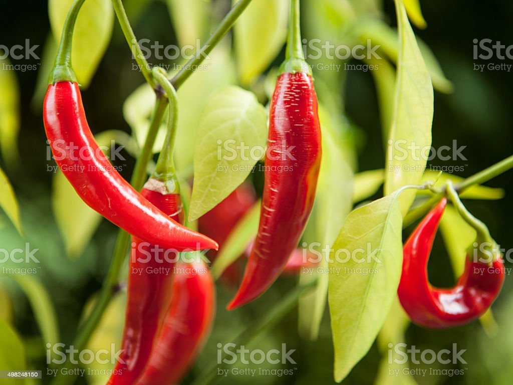 Cayenne peppers growing in outdoor garden stock photo