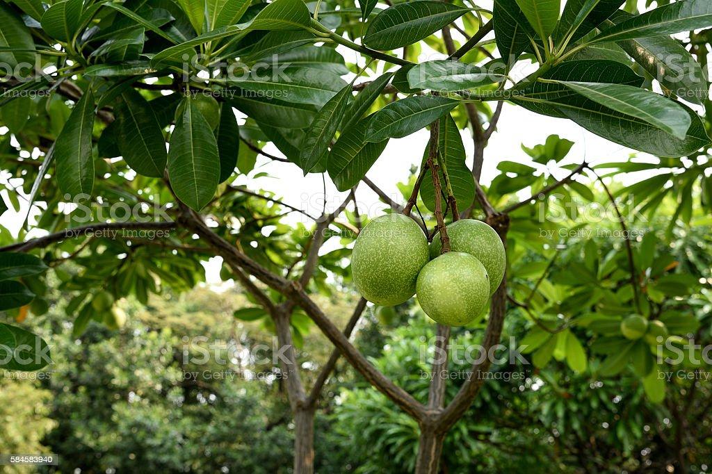 Cebera fruits stock photo