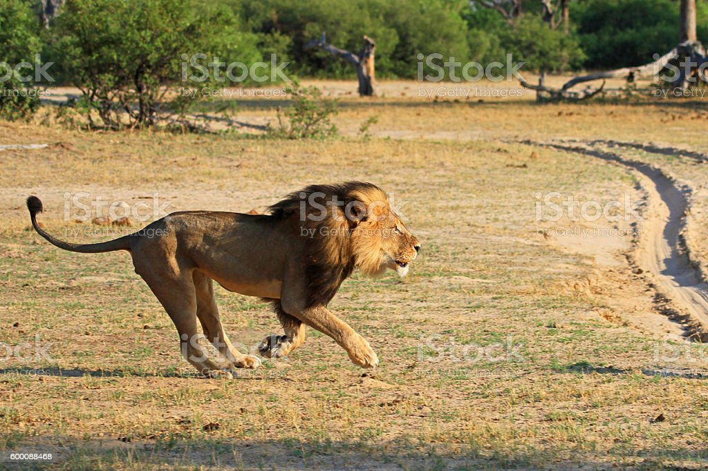 Cecil the lion running across the african plains stock photo