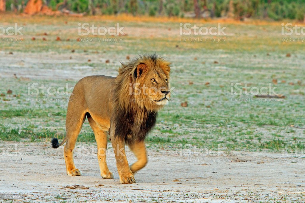 Cecil the Lion walking across the plains in Hwange stock photo