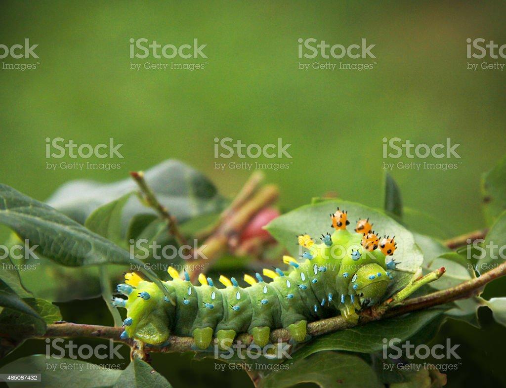 Cecropia Moth Caterpillar stock photo