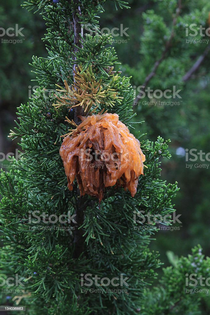Cedar apple rust stock photo