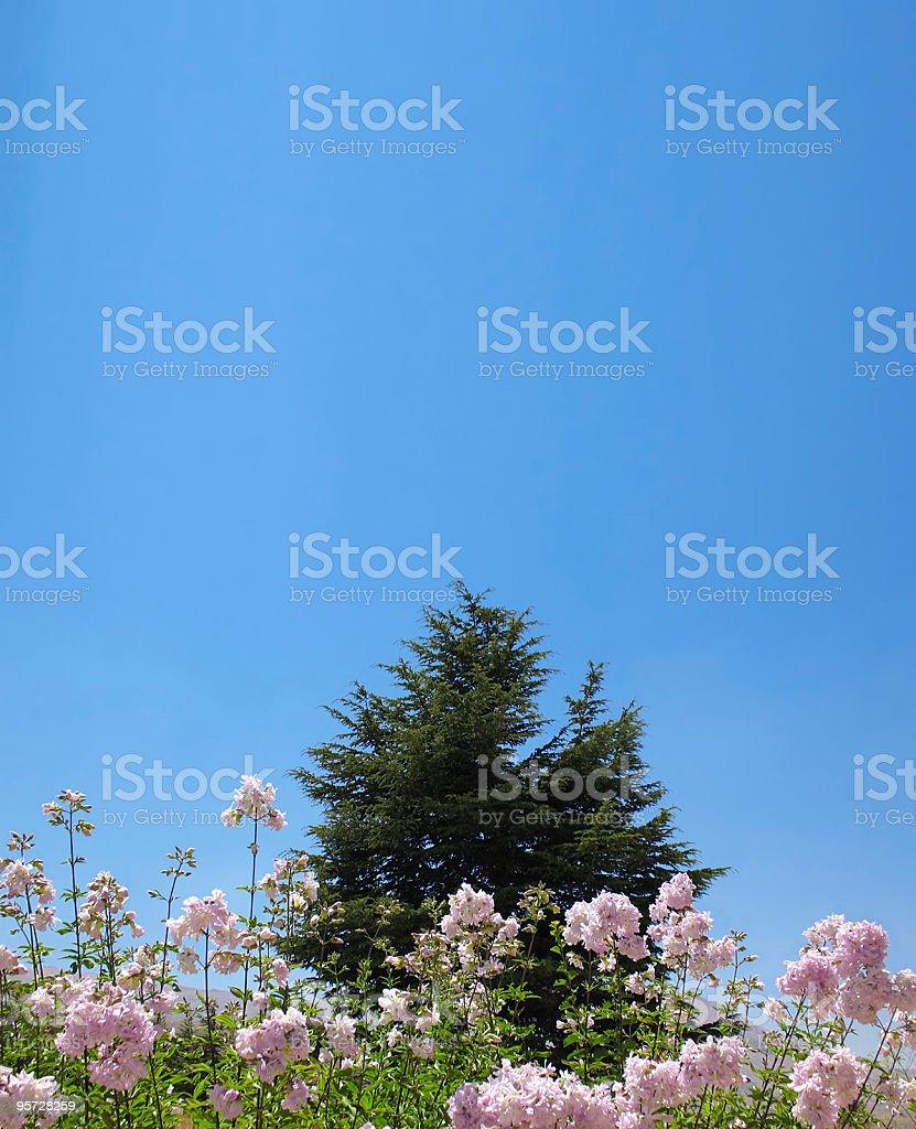 Cedar Behind Flowers stock photo