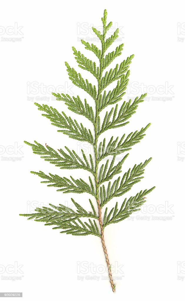 Cedar Branch isolated stock photo
