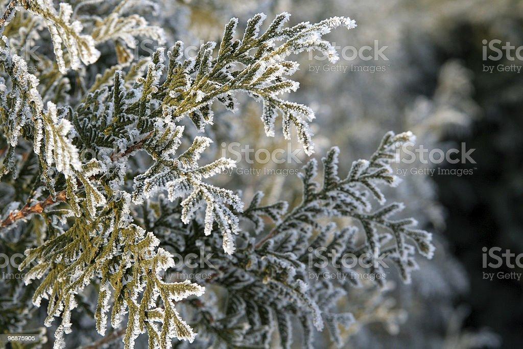Cedar branch royalty-free stock photo