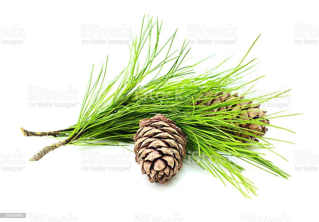 cedar branch with cones stock photo