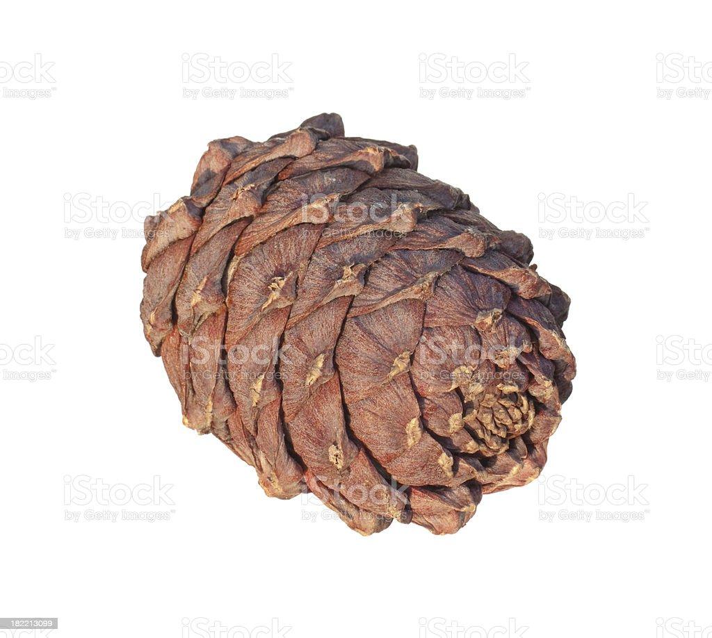 Cedar cone stock photo